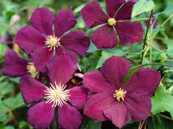 etoile-violette
